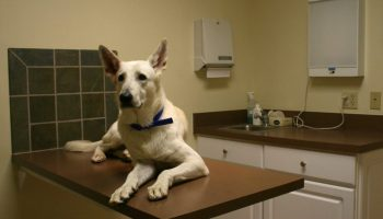 2008-12-01_White_GSD_at_the_vet