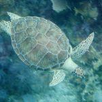 Green_turtle_John_Pennekamp