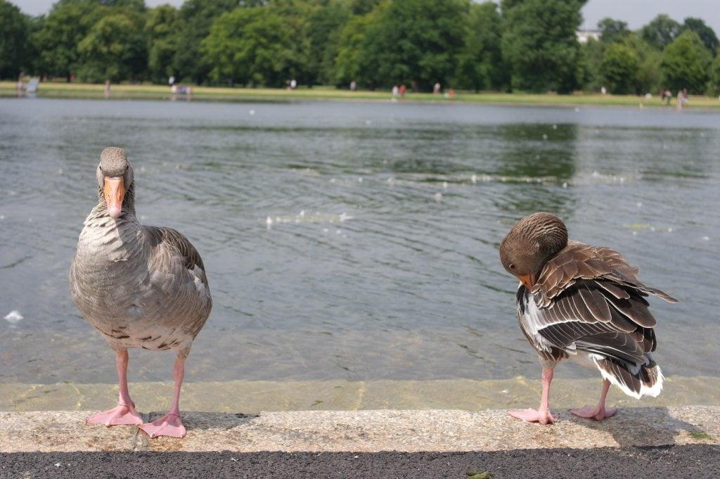 Geese, Round Pond, Kensington Gardens, Hyde Park (12)