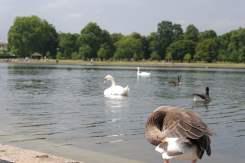 Geese, Round Pond, Kensington Gardens, Hyde Park (22)