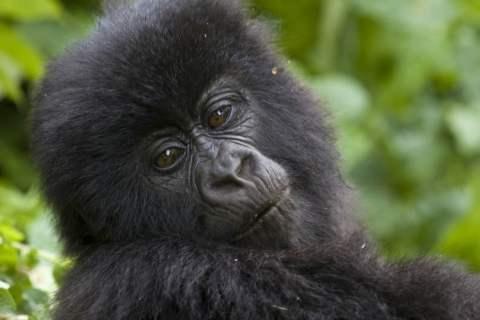 2338579425_eccb3d3c48_b_gorilla-trekking