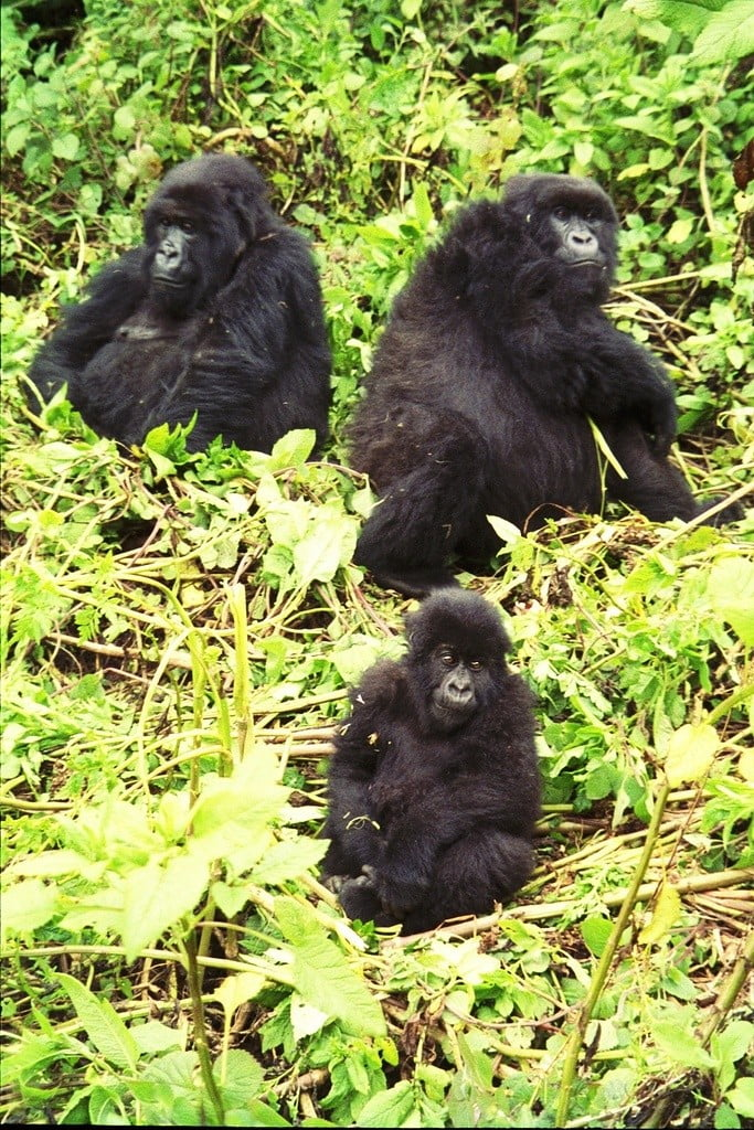 gorilla trekking photo