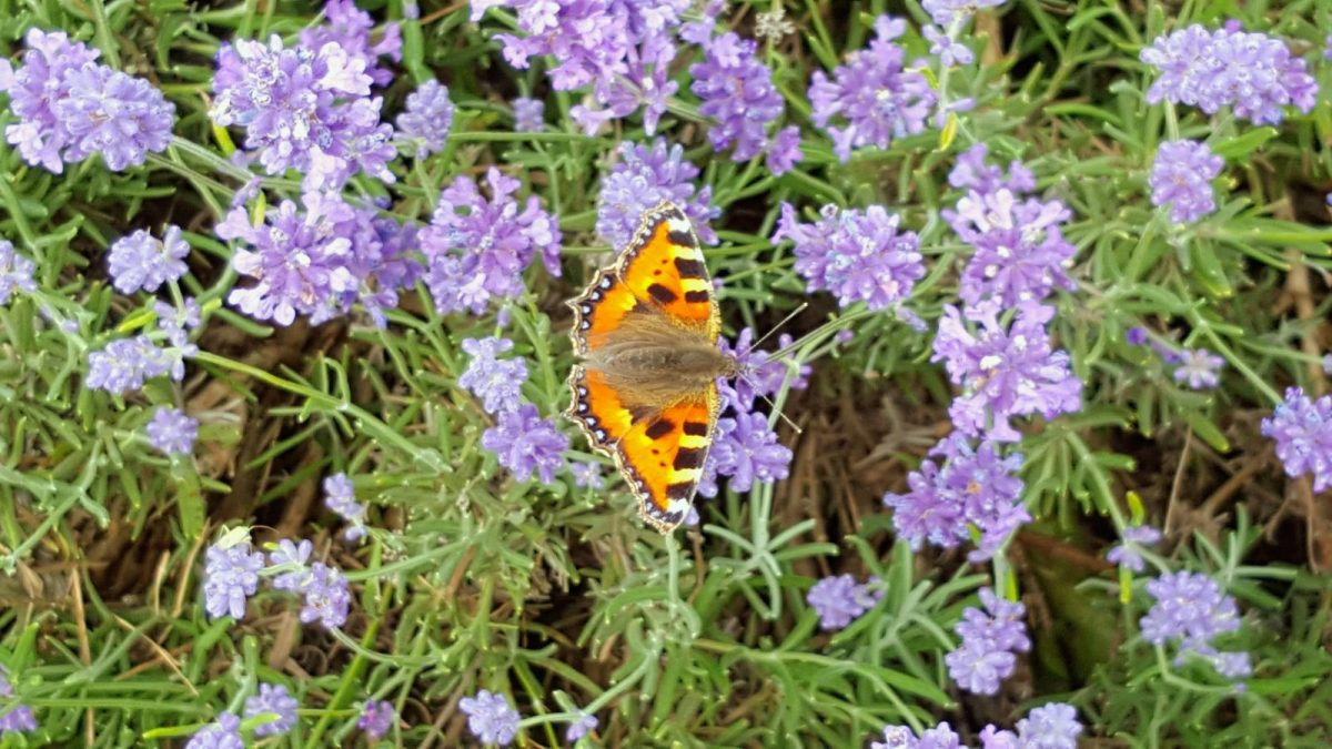 Butterfly at Mayfield Lavender Farm