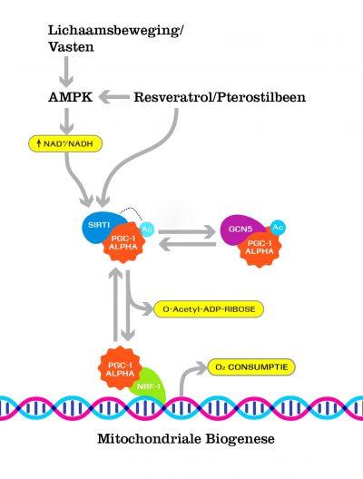 effect resveratrol pterostilbeen mitochondriën