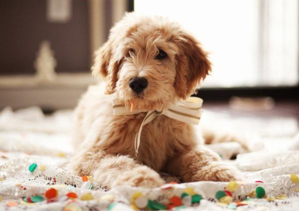 wedding-bowtie-puppy