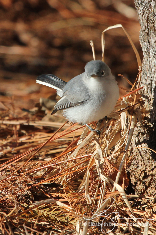 Blue-gray Gnatcatcher, John Chesnut Sr. Park, Palm Harbor, FL