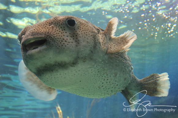 Porcupinefish at the Florida Aquarium in Tampa, FL