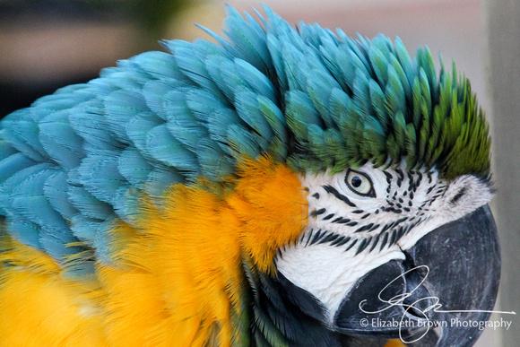 Blue and Yellow Macaw at Sarasota Jungle Gardens, Sarasota, FL