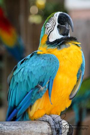 Blue and Yellow Macaw, Sarasota Jungle Gardens, Sarasota, Florida