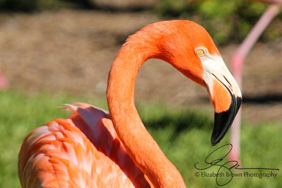 American Flamingo, Sarasota Jungle Gardens, Sarasota, FL