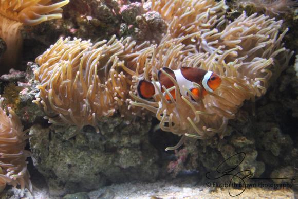 Percula Clownfish and Anemone at the Florida Aquarium, Tampa, FL
