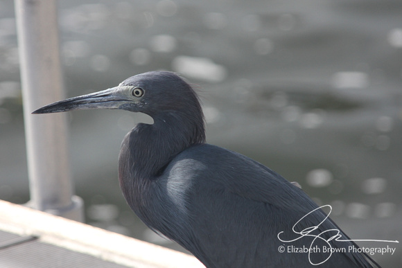 Little Blue Heron at Marina in Palm Harbor, FL