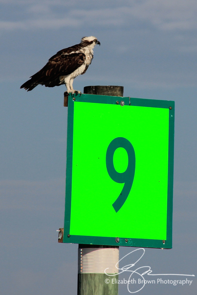 Osprety on Chanel Marker 9 in Hurricane Pass near Dunedin, FL