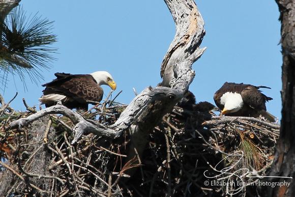 Wild Bald Eagles' Nest - Parents feeding two chicks at Honeymoon Island State Park, Dunedin, FL