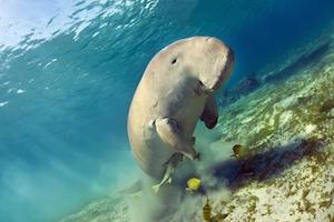 Swimming with a Dugong Beats Finding Nemo in Vanuatu