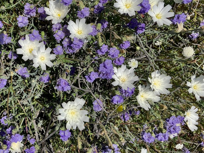 Photos of Wildflowers from Anza Borrego State Park