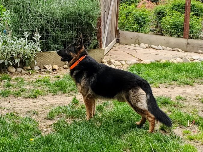Why My German Shepherds Wear Electronic Collars