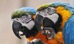 papagali emancipati