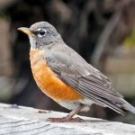 robin-signs-of-spring-582x388
