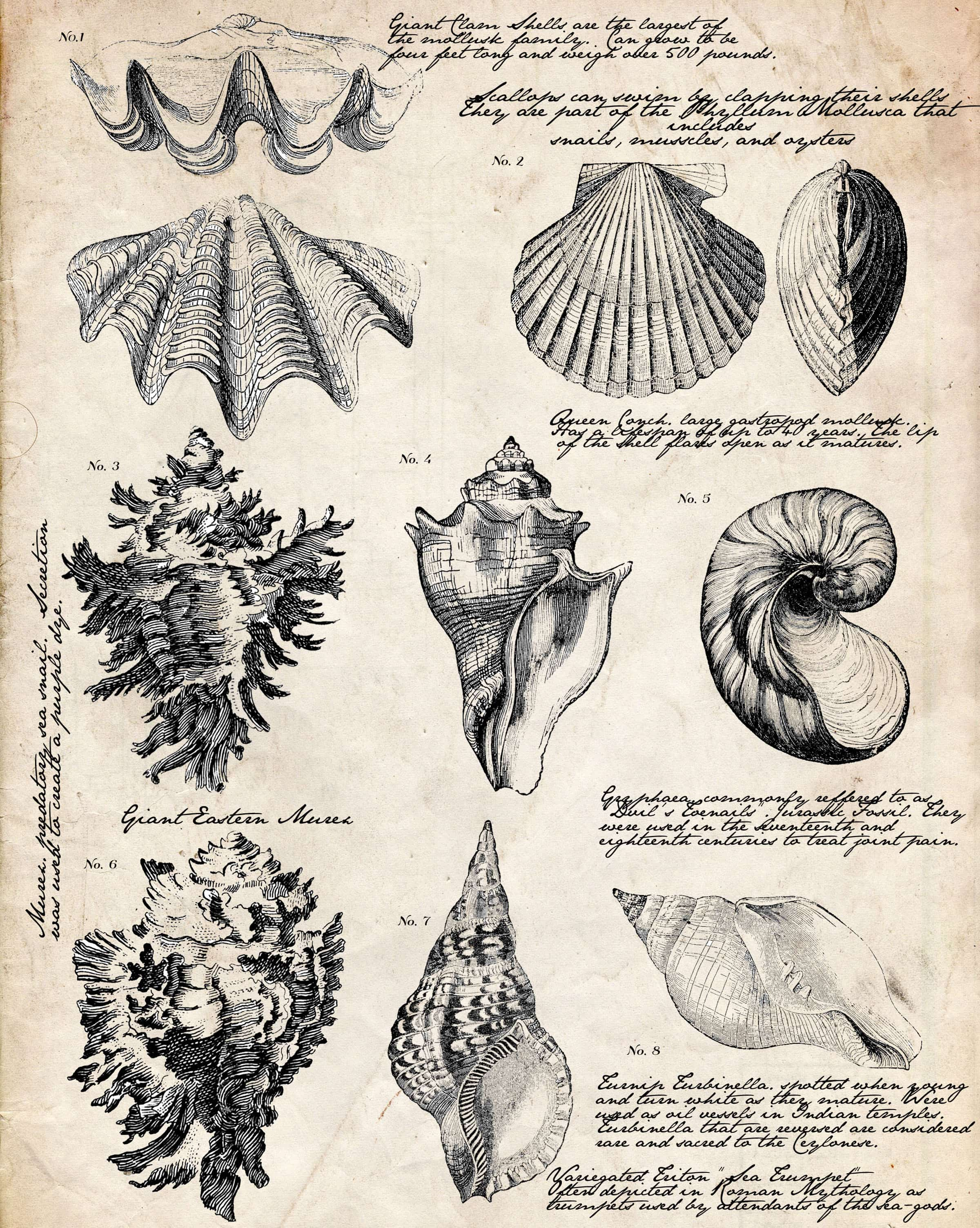 Free Printable Seashell Botanical Print