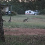 More roos, these came within 15 meters of us