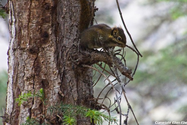 Squirrel at Huanglong National Park