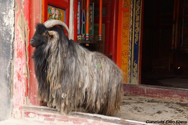 Xiahe: a goat at the entrance to a hall with a big prayer wheel