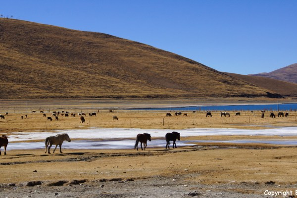 Horses at Yamdrok Tso Lake