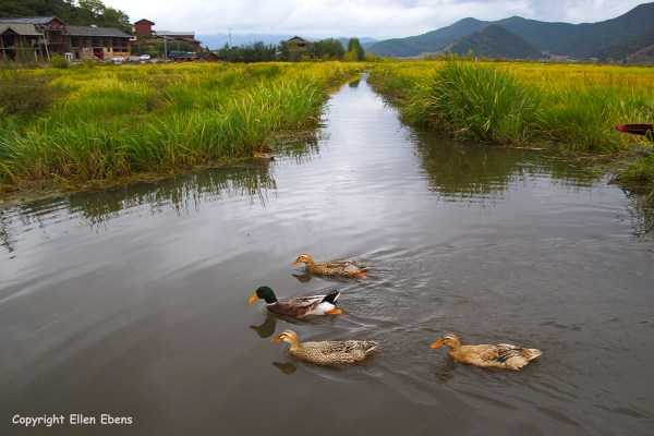 The wetlands at Lugu Lake