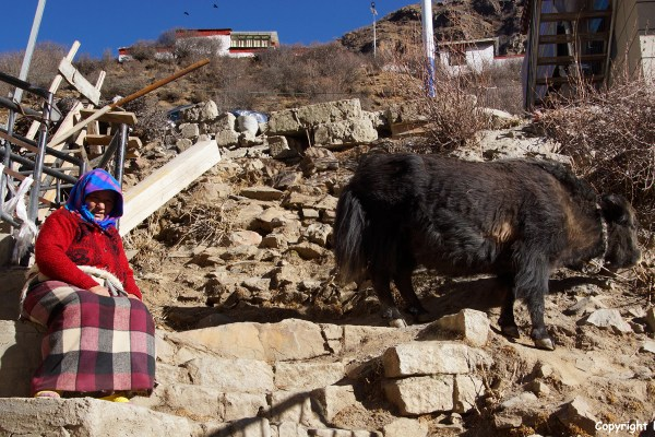 Resting woman and yak at Tidrum Nunnery