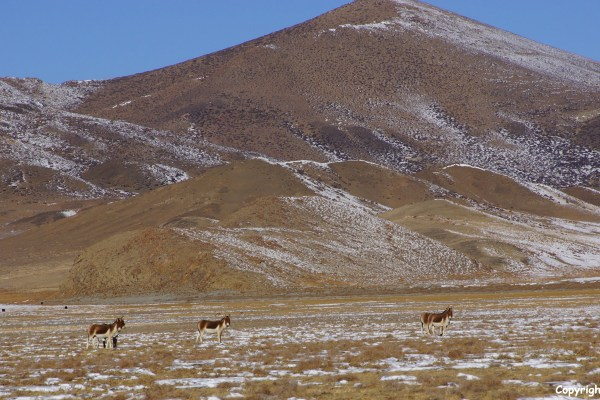Second day of the kora around Yamdrok Tso Lake, kiangs (the Tibetan wild donkeys)