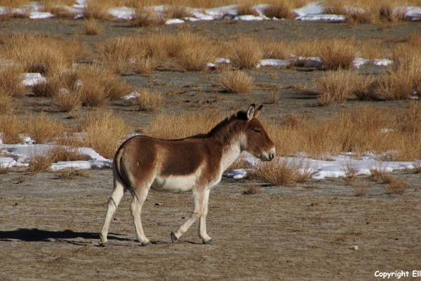 Second day of the kora around Yamdrok Tso Lake, kiang (the Tibetan wild donkey)
