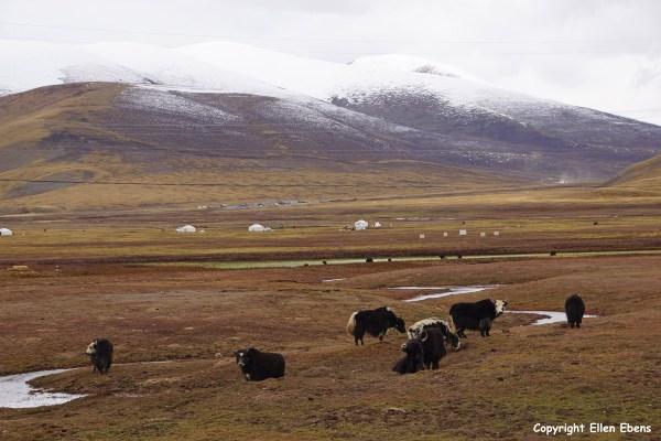 Kham yaks nomad tents