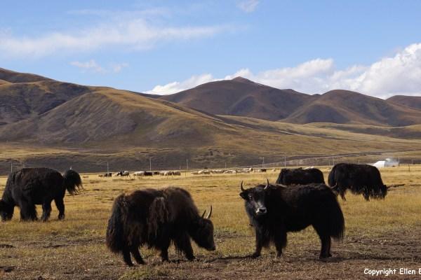 Kham yaks