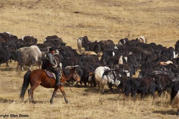 Langmusi Zoige yak herding