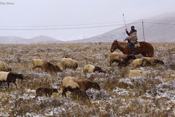 Nomad sheep