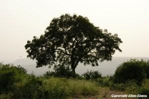 Tree at Gwalior Fort, Gwalior