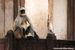 A monkey at the Jahangiri Mahal Palace, Orccha