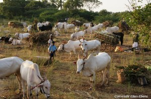 Cattle market in the middle of nowhere