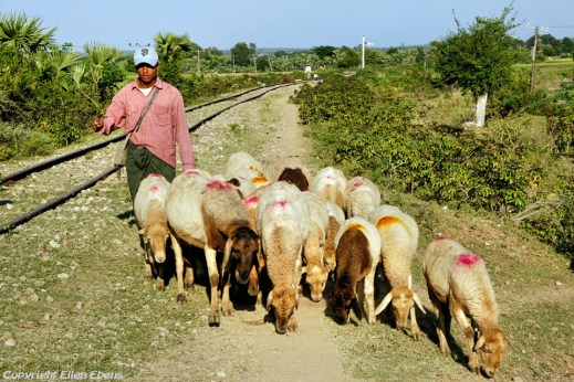 On road from Mandalay to Monywa, a sheperd with his flock of sheep on the railroad