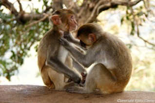Monkeys at the Mount Popa Monastery