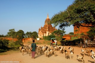 A flock of goats between the pagodas of Bagan