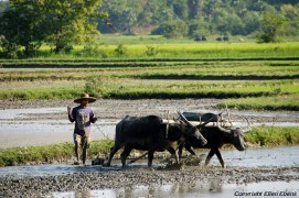 On the road from Pathein to Chauntha Beach, plouging the fields with buffaloes
