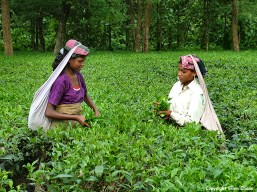 West Bengal tea picking