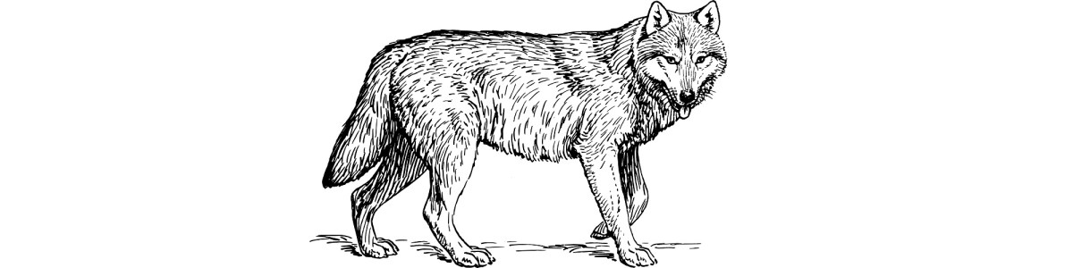 "Wolf illustration - ""The Runt"" microfiction"