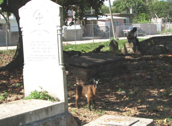 Goat in a graveyard beside headstone