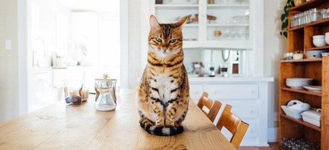 Tabby cat sat on kitchen table
