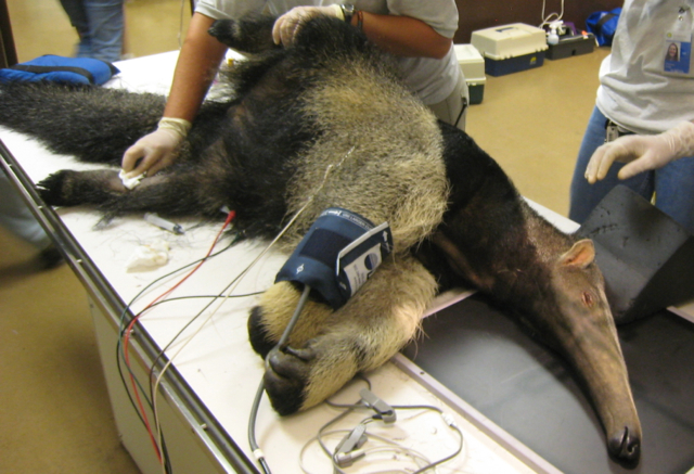 giant-anteater-veterinary-exam