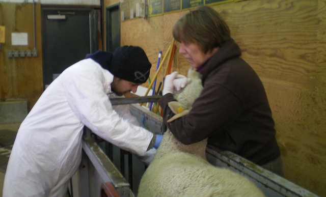 Collecting blood for sheep health surveillance.