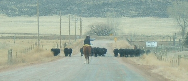 Wyoming-cattle-crossing